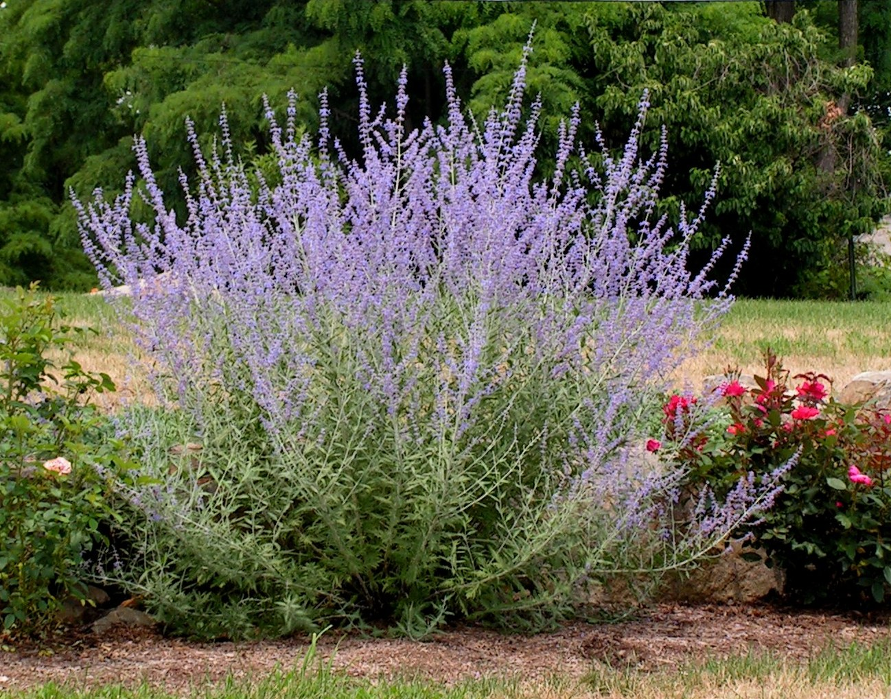 Landscaping With Lavender Plants : More to come but first we need landscape and figure out the